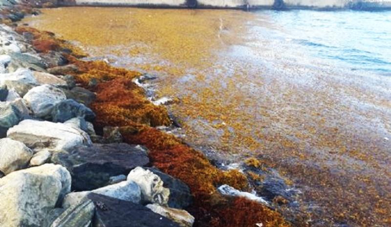 Gov't announces return of  Sargassum Seaweed