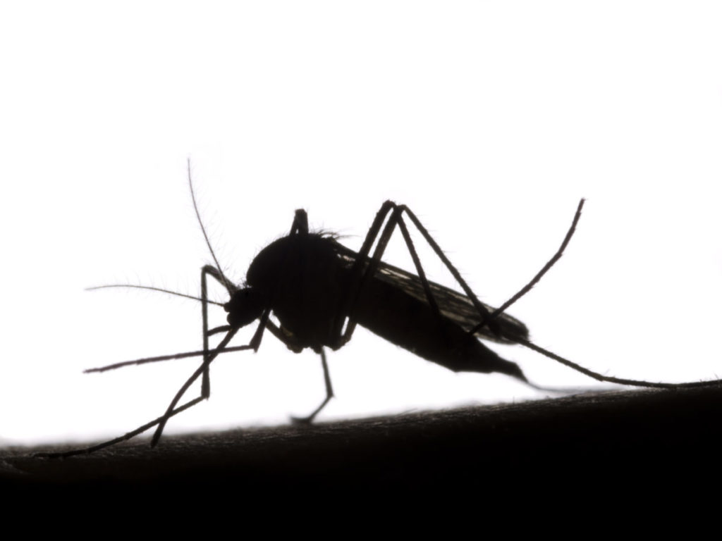 Sterile mosquitos to be released in USVI, local attorney says BVI should have been consulted